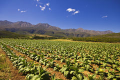 Vegetable farm fields with blue sky Royalty Free Stock Photography