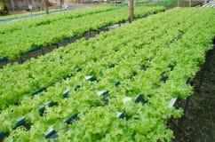 Vegetable Farm Green Cos Lettuce Salad Leaves Stock Photos