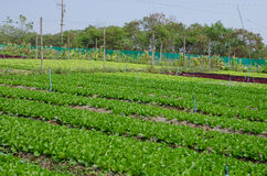 Vegetable farm. Lettuce (salad) agriculture Stock Photography