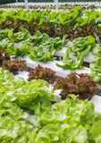 Vegetable farm Organic green natural Hydroponic Royalty Free Stock Photos