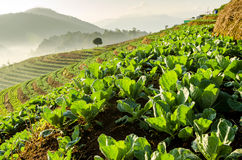 Vegetable farm on terraced Royalty Free Stock Images