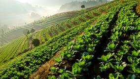Vegetable farm on terraced Stock Photo