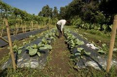 Vegetable Farmer. Filipino vegetable partner in Mindanao Stock Images
