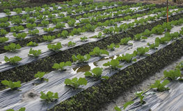 Vegetable Farming Royalty Free Stock Images
