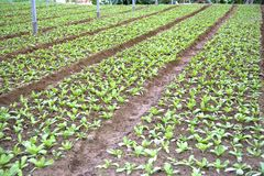 Vegetable Farming in Asia Royalty Free Stock Image