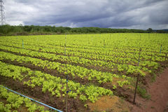 Vegetable farming. Stock Photo