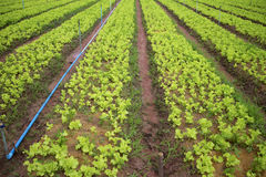 Vegetable farming. Royalty Free Stock Photography