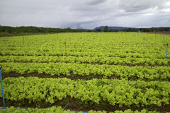 Vegetable farming. Stock Image
