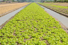 Vegetable farming with water irrigation Royalty Free Stock Photography