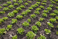 Vegetable in farmland Royalty Free Stock Photos