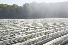 Vegetable farmland with fog Royalty Free Stock Photography