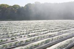 Vegetable farmland with fog Royalty Free Stock Photography
