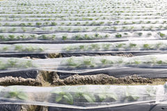 Vegetable farmland Royalty Free Stock Images
