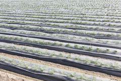Vegetable farmland Stock Photos
