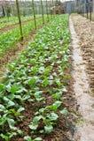 Vegetable Farms in Cameron Highlands Royalty Free Stock Photos