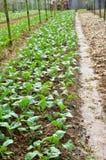 Vegetable Farms in Cameron Highlands Stock Photos