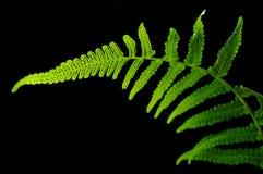 Vegetable fern Stock Images