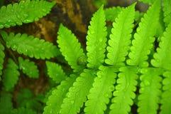 Vegetable fern Royalty Free Stock Photos