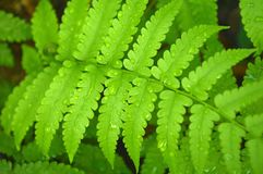 Vegetable fern Royalty Free Stock Photos
