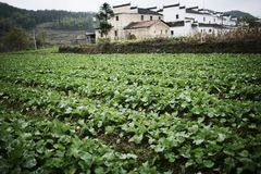 Vegetable field Royalty Free Stock Photos