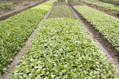 Vegetable field Royalty Free Stock Image