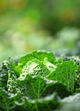 Vegetable in field Royalty Free Stock Images