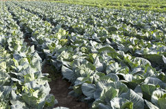 Vegetable Field. With lots of Chinese cabbage Stock Images