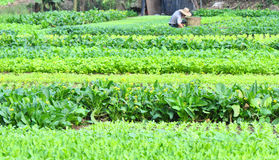 Vegetable field Stock Photos