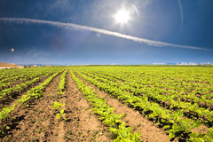 Vegetable field and beautiful sky Stock Images
