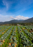 Vegetable field with blue sky at Kundasang, Sabah, East Malaysia Stock Photo