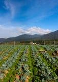Vegetable field with blue sky at Kundasang, Sabah, East Malaysia Stock Photo