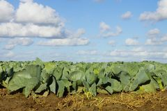 Vegetable field with. Cabbage plants under blue sky Stock Image