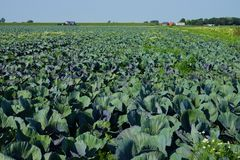 Vegetable field with cabbage plants. Under blue sky Royalty Free Stock Photo
