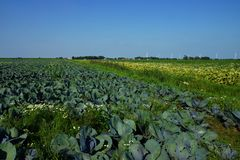 Vegetable field with cabbage plants. Under blue sky Stock Image