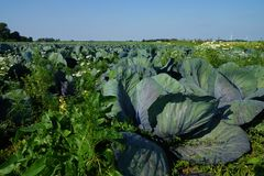 Vegetable field with cabbage plants. Under blue sky Royalty Free Stock Photography