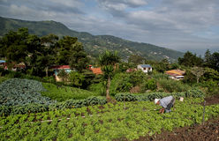 Vegetable field in the central valley of Costa Rica. A man that has work the fields for all his life, bends to plant the crops. This area of Costa Rica is Stock Images