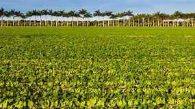 Vegetable Field in Florida. Farm land with vegetables and palm trees in southern Florida Royalty Free Stock Images