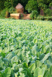 Vegetable field of German turnip Stock Image