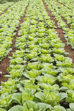 Vegetable field of green Chinese cabbage. Tak province ,Thailand. Stock Photography