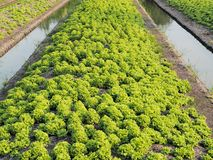 Vegetable field Green lettuce with canal. royalty free stock photo
