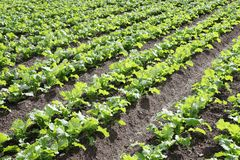 Vegetable field is growing on vegetables Royalty Free Stock Photos