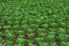 Vegetable field Landscape Royalty Free Stock Photo