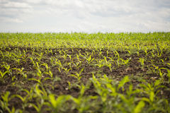 Vegetable Field Royalty Free Stock Images