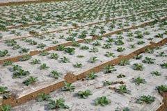 Vegetable field Stock Photos