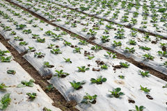 Vegetable field Stock Photography
