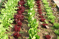 Vegetable field Royalty Free Stock Photo