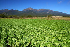 Vegetable field and mountain Stock Photography