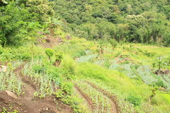 Vegetable field in mountains on Flores Royalty Free Stock Photos