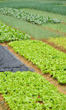 Vegetable field pattern Royalty Free Stock Photography