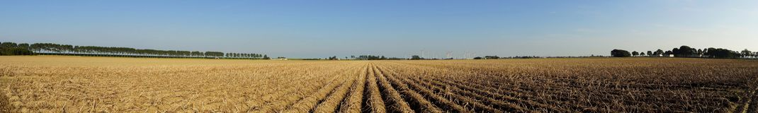 Vegetable field with potato plants. Panoramic view of a large potato field in summer Royalty Free Stock Photography
